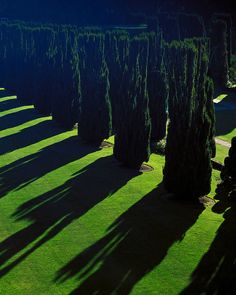 Yew Tree Allee, Fioli Mansion, Woodside, CA