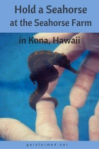 Exploring the World of Seahorses at Kona, Hawaii's Seahorse Farm Hold A Seahorse at the Hawaii Seahorse Farm!Hold A Seahorse at the Hawaii Seahorse Farm! Hawaii Honeymoon, Hawaii Vacation, Hawaii Travel, Travel Usa, Italy Travel, Hawaii 2017, Hawaii Life, Hawaii Hawaii, Visit Hawaii