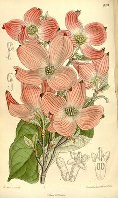 Cornus florida 'Rubra' - Native Dogwood - Botanical Illustration