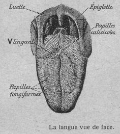 Langue humaine vue de face Medical Anatomy, Human Anatomy, Good To Know, Science, Illustrations, Bible, Sketches, Draw, Solar