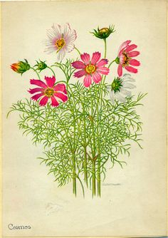 Cosmos Vintage Botanical Illustration by Edith Johnston from A Book Of Garden…