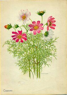 Cosmos Vintage Botanical Illustration by Edith by stillknitting, $6.00