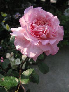 #Rose Augusta Luise