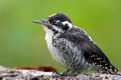American Three-toed Woodpecker, Japser National Park, Alberta