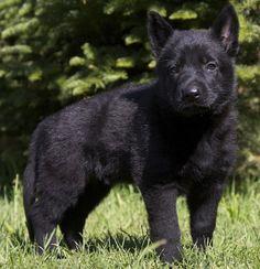 Black German Shepherd Puppy Black German Shepherd Puppies, Belgian Shepherd, German Shepherds, Black Puppy, Doberman Dogs, Black Bear, Doge, Best Dogs, Cute Animals