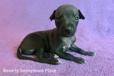 Italian Greyhound Puppies, Places, Dogs, Animals, Animaux, Doggies, Animales, Animal, Pet Dogs