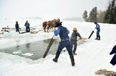 Harvesting ice blocks is a common practice of the Swartzentruber Amish. They dont have natural gas, so they keep their food cold with ice throughout the year. When they don't harvest their own they can purchase ice through Millersburg Ice Company. #Ohio #Amish #Ice