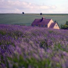 A home in the lavender fields