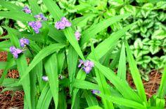 Spiderwort-Wildflower--Blooms in Spring in my area. My species bloom in morning when the sun is shining on it. Garden Photos, Wild Flowers, Bloom, Sun, Spring, Plants, Planters, Plant, Wildflowers