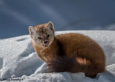 Pine Marten by Steve Dunsford on 500px
