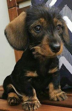 It doesn't get much cuter! #dachshund #SoCuteBabies