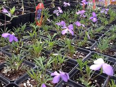 Birdsfoot Violets coming to life in the Wildflower Farm greenhouse!