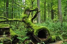 Bialowieza Forest and National_Park_in_Poland Beautiful Forest, Trees Beautiful, Beautiful Pictures, Old Trees, All Nature, Central Europe, Nature Reserve, Mellow Yellow, World Heritage Sites