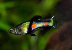 Pair of Poecilia wingei «El Tigre» (True Endler, Livebearer) | Pet Supplies, Fish & Aquarium, Live Fish | eBay!