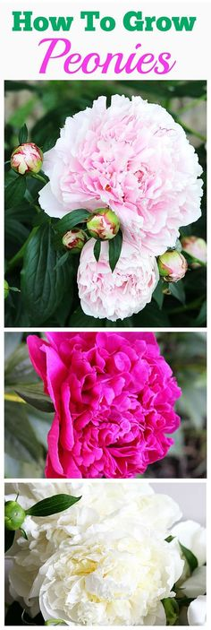 AWESOME TIPS on how to grow peonies. Everything from soil conditions to USDA zones to ants and including how and when to cut a peonies bouquet. Growing Peonies, How To Grow Peonies, Growing Flowers, Peonies Garden, Peonies Bouquet, Silk Peonies, My Secret Garden, Cut Flowers, Flower Beds