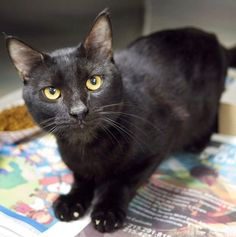 ADOPTED! BULLET (A23095455) A handsome jet black boy -  surrendered when his owners decided they had too many animals. He's just under 7 pounds. He enjoys being held and he gives headbutts and purrs nonstop. He's a little shy at first, but who can blame him? He's not sure where the rest of his family is. Please show Bullet what it's like to be loved again.