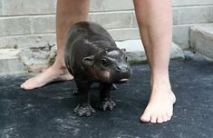 Funny pictures about Baby Hippo. Oh, and cool pics about Baby Hippo. Also, Baby Hippo photos. The Animals, Cute Baby Animals, Funny Animals, Animal Babies, Cutest Animals, Baby Pictures, Animal Pictures, Funny Pictures, House Hippo