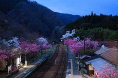 Japanese train station and cherry blossoms - Atsushi Hayakawa