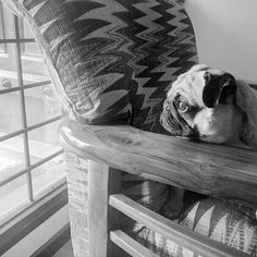 I guard my house .. But with extra caution! ⚠️ I hide behind my chair armor ️ just in case of emergencies! #guardingpug #toughpuglife #UPCI️#upc_india #UnitedWithPaws #puglife