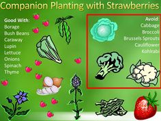 Strawberry Planting How-To. Borage Companion Planting Strawberry Planting How-To. Borage Companion P Container Gardening Vegetables, Planting Vegetables, Growing Vegetables, Veggies, Vegetable Gardening, Companion Gardening, Gardening Tips, Organic Gardening, Balcony Gardening
