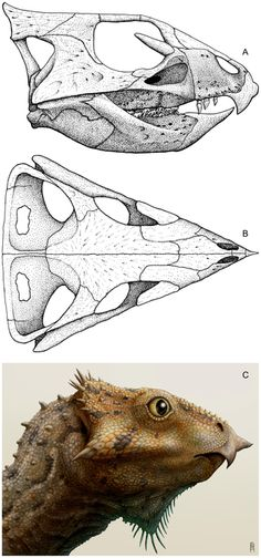 FIGURE 6: Cranial reconstruction and life restoration of Aquilops americanus. Cranium in A) right lateral and B) dorsal views; C) life restoration in right lateral view. The rendering is based on OMNH 34557 (holotype), with missing details patterned after Liaoceratops yanzigouensis and Archaeoceratops oshimai. Life restoration by Brian Engh. doi:10.1371/journal.pone.0112055.g006