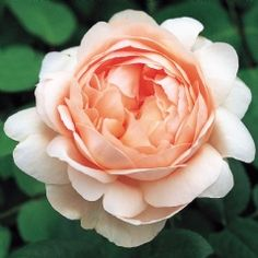 Ambridge Rose - David Austin Roses - David considers this to be one of his most fragrant roses. I usually like the cabbage rose look, but I like this one. Fragrant Roses, Shrub Roses, David Austin Rosen, Rooting Roses, Rose Foto, Ronsard Rose, Rose Nursery, Types Of Roses, Bouquet