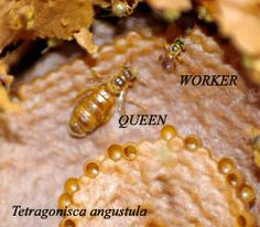 Mayan stingless bee honey site - Medicinal honey - Buy stingless bee honey - Melipona - Tetragonisca - Peruvian rainforest honey - Amazonian honey