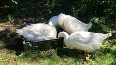 "20 gilla-markeringar, 2 kommentarer - Jessie💕 (@ijezzie) på Instagram: ""#duck #ducks #duckface #bath #swimming #swimmingpool #cute #farm #farmanimal #duckbath"""