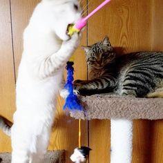 がぶっっ💥  #ガン見 なこっちゃん  #イブ#こてつ#ねこ#ぬこ#にゃんこ#愛猫#にゃんこ部#にゃんだふるらいふ#にゃんすたぐらむ#ねこすたぐらむ#じゃれる#cats#nyannyan#catstagram#nyanstagram
