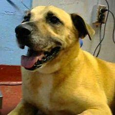 Atlanta, Georgia - Labrador Retriever. Meet PILGRIM, a for adoption. https://www.adoptapet.com/pet/19942336-atlanta-georgia-labrador-retriever-mix