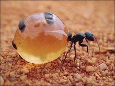 BBC Brasil - Notícias - Livro mostra 150 insetos mais surpreendentes-formigas pote de mel acumulam nectar no abdomem