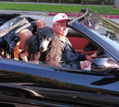 The MeadowTree Journal: And Now For Some More Poodle Time-Poodles On Wheels-Jack Lemmon chauffeuring his Poodle in the Ferrari