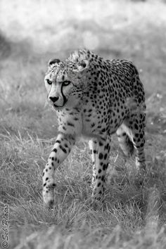 BandW - Stalking cheetah... by Seb-Photos.deviantart.com on @deviantART