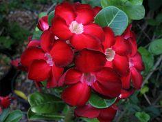 """""""Desert Rose"""" Adenium Obesum Dark Red"""