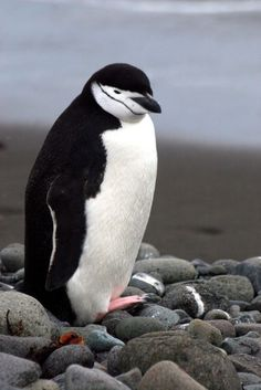 Chinstrap Penguin with pink feet (by Heaven`s Gate (John))