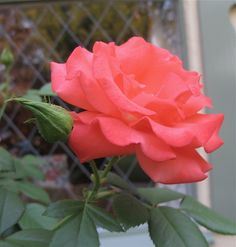 Marmalade Skies an everblooming rose www.mysoulfulhome.com