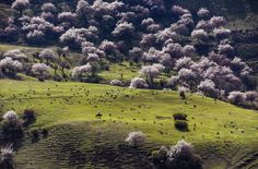 A herdsman in Alae village grazes sheep in a meadow abloom with almond flowers in Gongliu County, China on April (Shen Qiao/Xinhua) Wonderful Flowers, Wonderful Places, Beautiful Places, Fotojournalismus, Almond Flower, Swiss Guard, Picture Editor, The Good Shepherd, S Pic