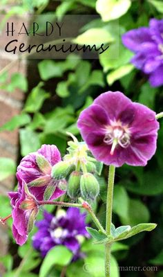 Learn about an easy to grow these hardy geranium perennial called cranesbill that is beautiful, airy with a cottage garden feel and comes in a variety of colors.
