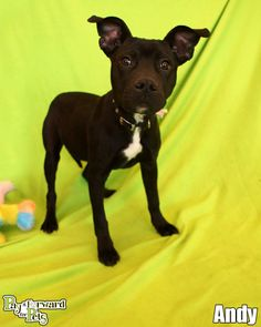 Meet Andy - puppy a Petfinder adoptable Terrier Dog | Akron, OH | Puppies are just the best!  They are irresistible and fun.  But, they do grow up quickly and the...