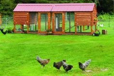 Building a Chicken Coop. Here are tips in layout and design of the perfect home for your hens. | Living the Country Life | http://www.livingthecountrylife.com/animals/chickens-poultry/building-chicken-coop/