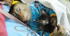 monkey-and-kitten-nap