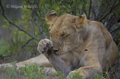 Wildlife photographer Helgard de Villiers shared a wonderful image on community(website) of wildlife photographers. Click below link to view in full mode http://photos.wildfact.com/image/199/wildfact