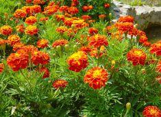 Marigold Front Yard Garden Design, Front Garden Landscape, Garden Yard Ideas, Lawn And Garden, Yard Design, Garden Paths, Backyard Ideas, Outdoor Landscaping, Outdoor Plants
