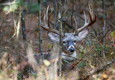 Deer Hunting Tips and Tricks. Venison Stew Recipe And A Great Deer Jerky Recipe. Deer Hunting Tips, Trophy Hunting, Hunting Girls, Archery Hunting, Hunting Humor, Whitetail Deer Pictures, Deer Photos, Deer Family, Whitetail Bucks