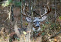 Big Beautiful Eastern White Tail Deer