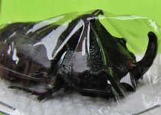 "Rhino Beetle Trichogomphus martabani Male 60mm or 2 3/8"" FAST SHIP FROM USA"
