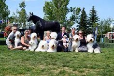Valubal & Tumbleweed Old English Sheepdog Canada 2015 www.valubal.com