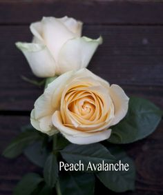 Peach_Avalanche_Rose.jpg (650×780)