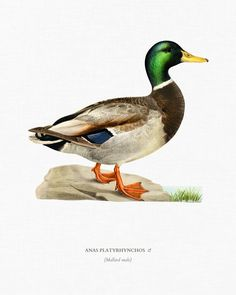 Risultati immagini per Anas platyrhynchos science book Duck Illustration, Botanical Illustration, Wildlife Paintings, Wildlife Art, Funny Hunting Pics, Escudo River Plate, Male Duck, Duck Pictures, Duck Art