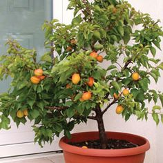 Apricot 'Aprigold' dwarf apricot 1 m height and spread. This might be a better way to go with apricot trees in controlling peach leaf curl.
